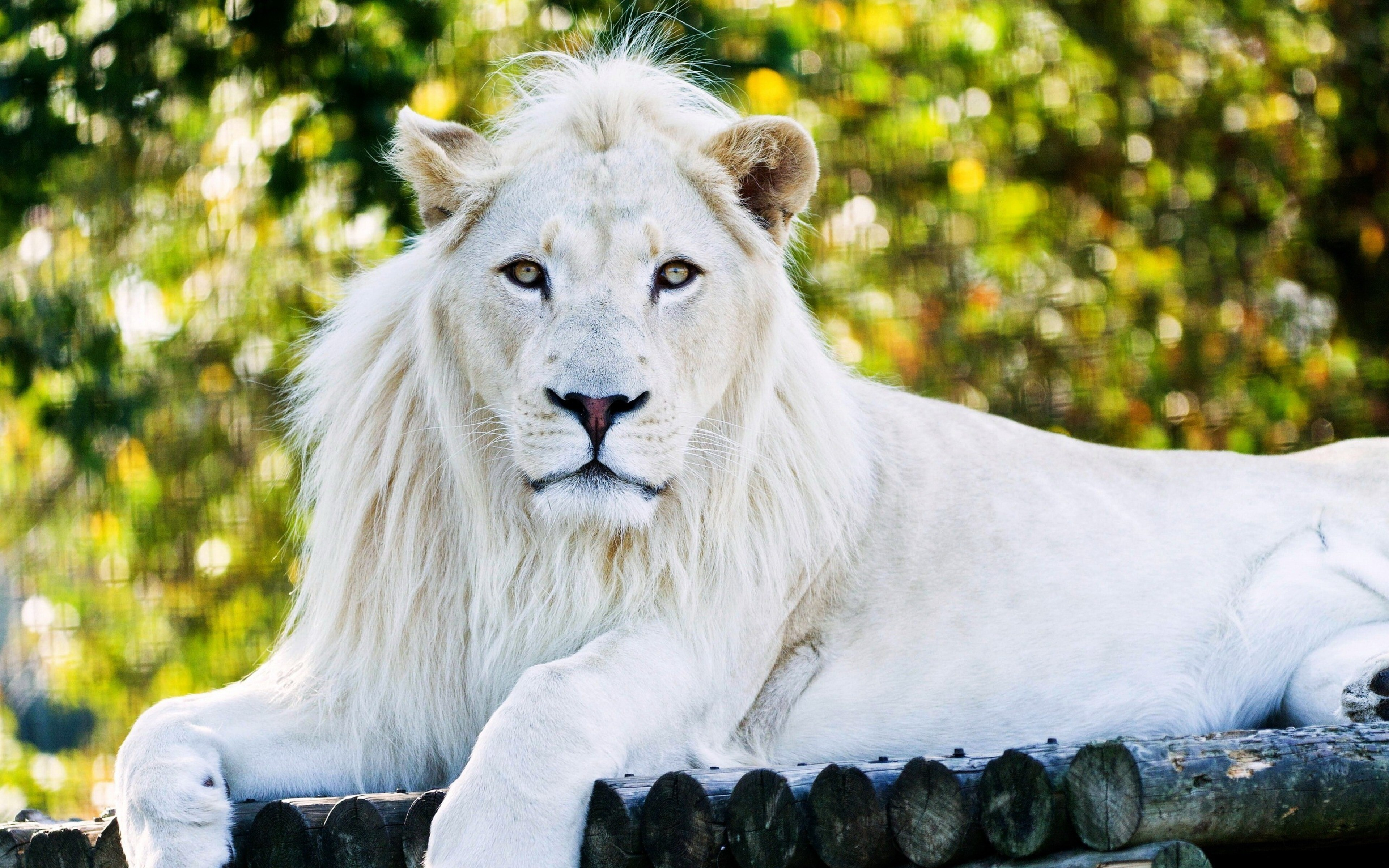 White Lion Hd Wallpapers