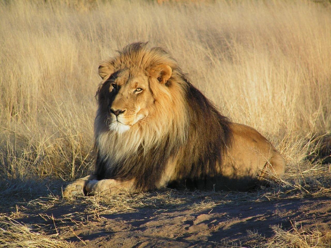 Lion sitting - photo#24