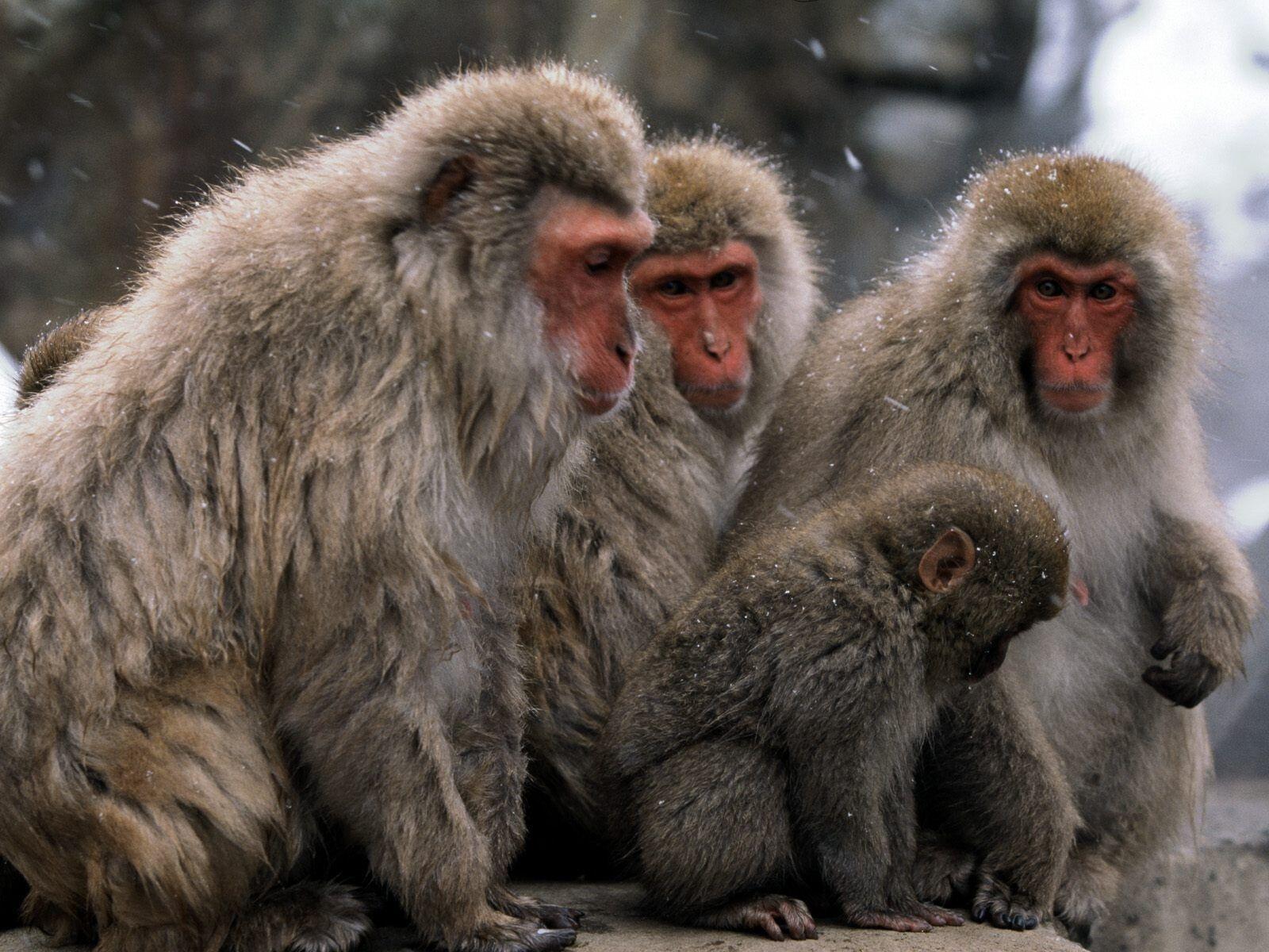Monkey Wallpaper monkey wallpapers | free download best wild animals hd desktop images