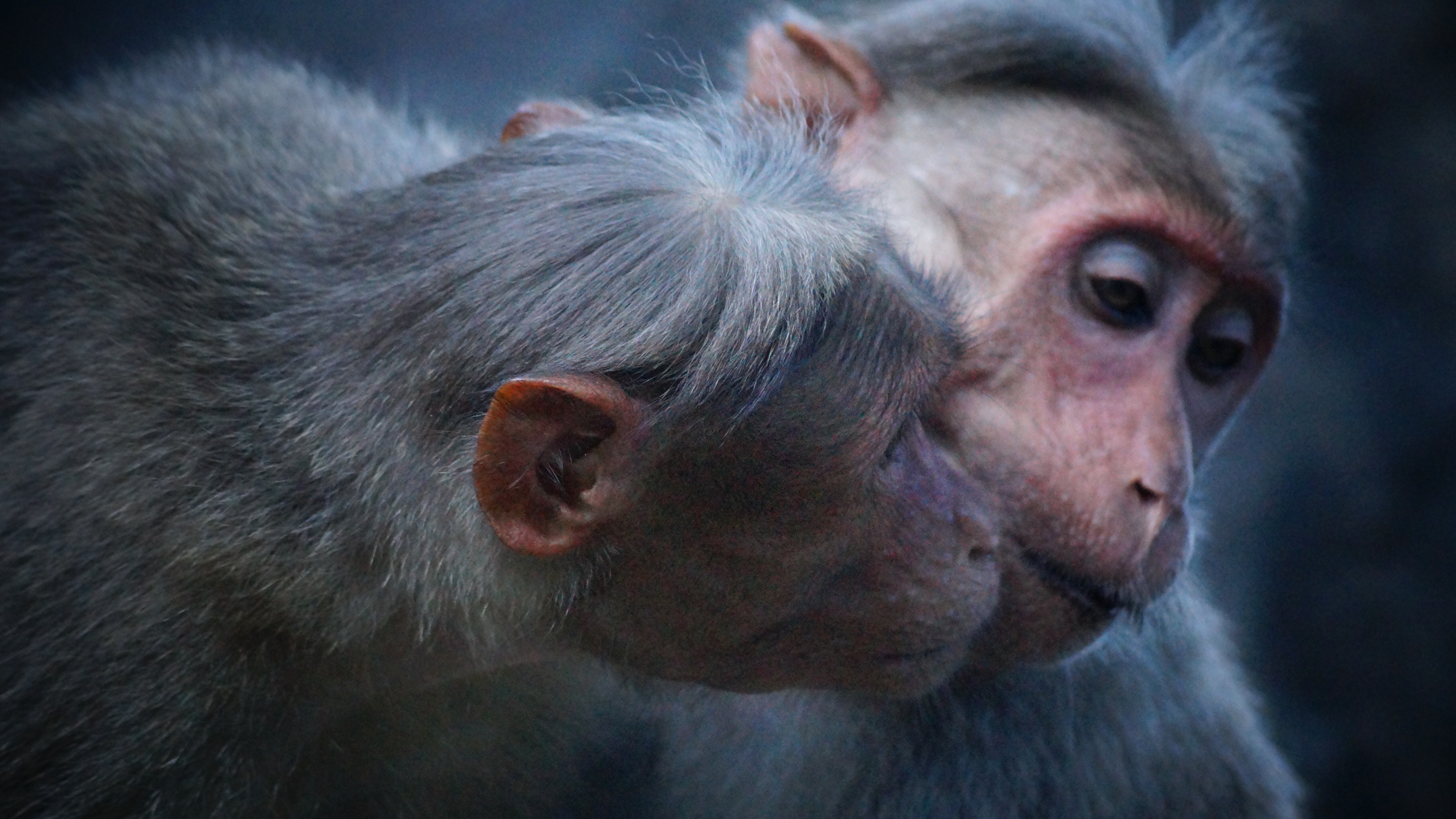 Two Monkeys Doing Love Together 5K Wallpaper | HD Wallpapers