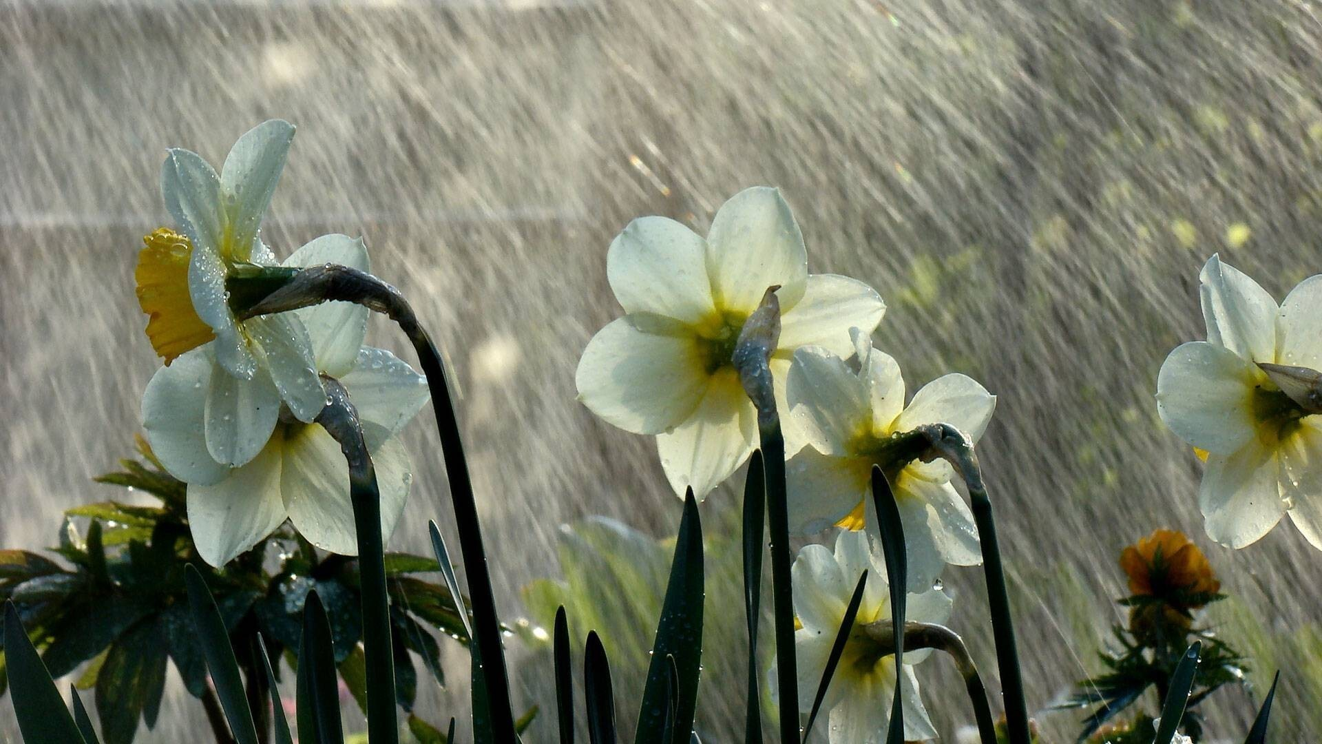 Beautiful rain on flower wallpaper hd wallpapers thecheapjerseys Gallery