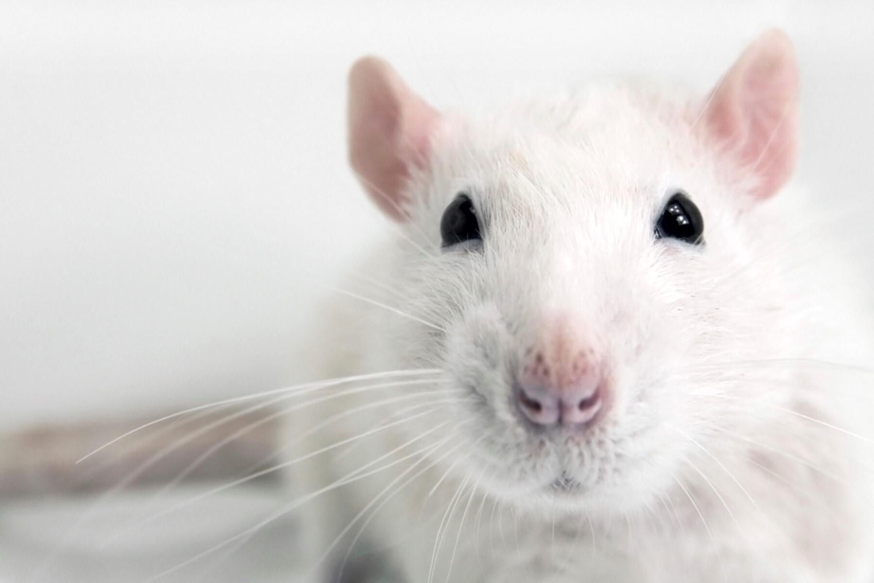 Animal White Mouse Face Closeup HD Wallpaper