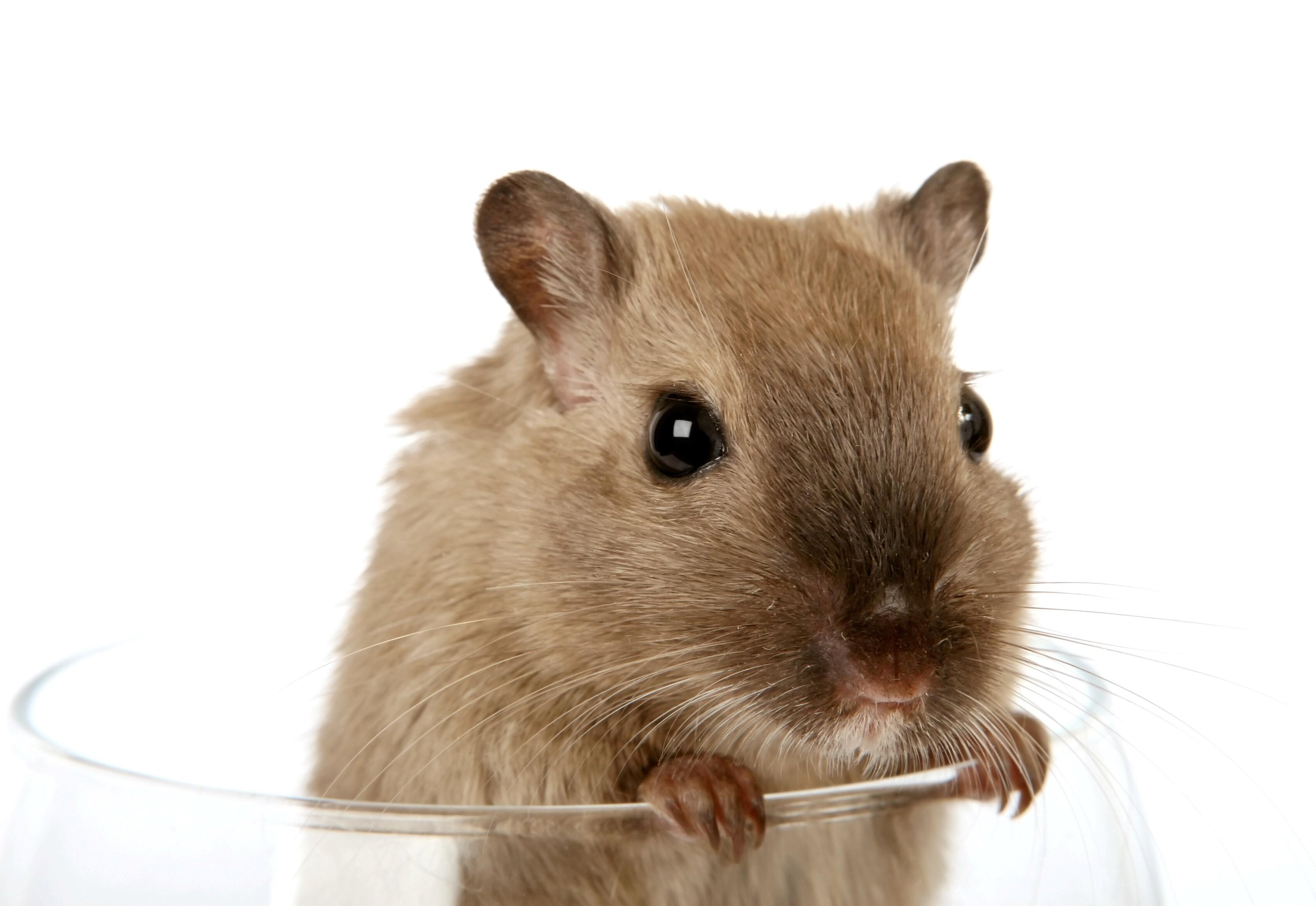 Funny Rat In Glass Wallpaper Hd Wallpapers