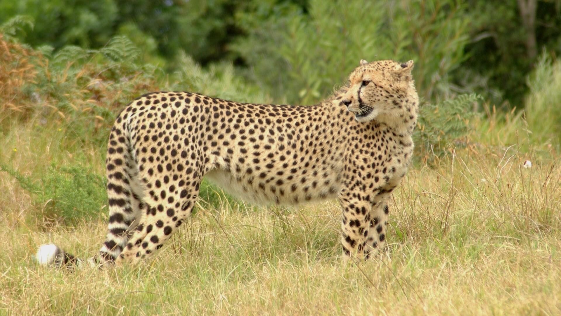 cheetah cute image - HD Desktop Wallpapers | 4k HD