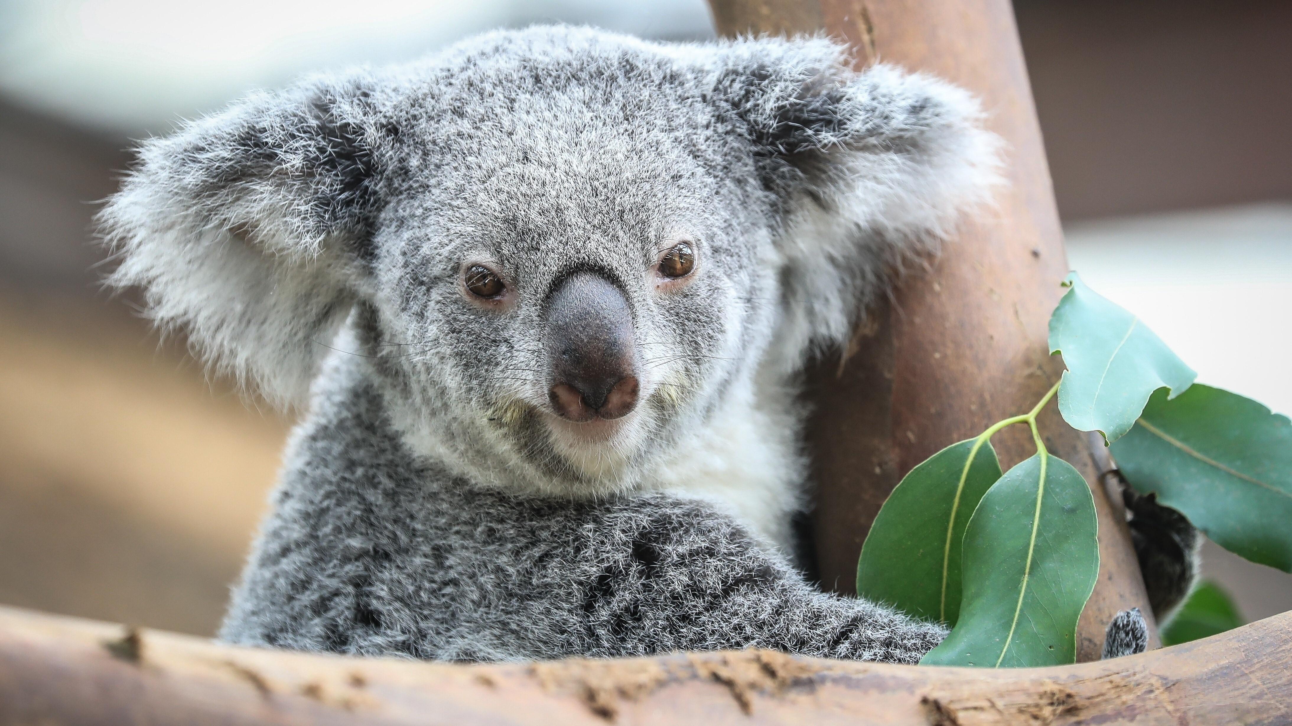 Animal Koala Wallpaper   HD Wallpapers