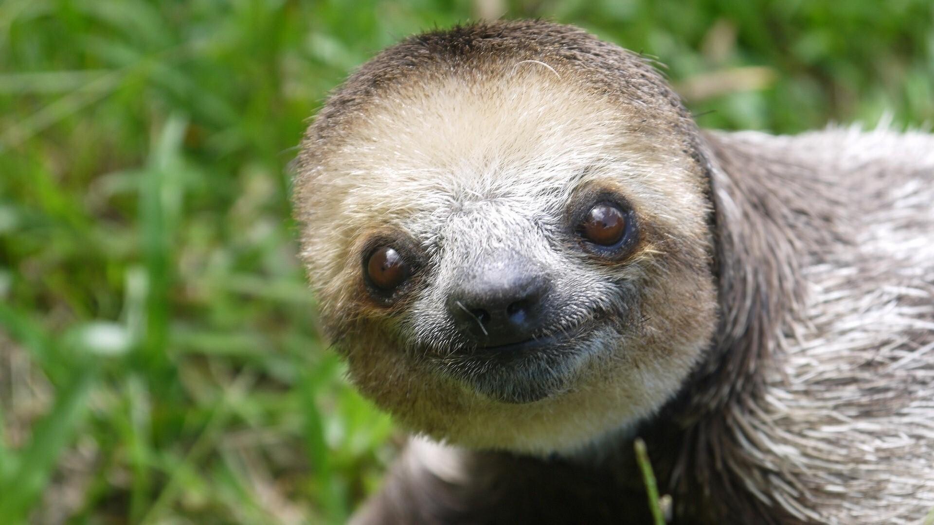 Animal Sloth Wallpaper
