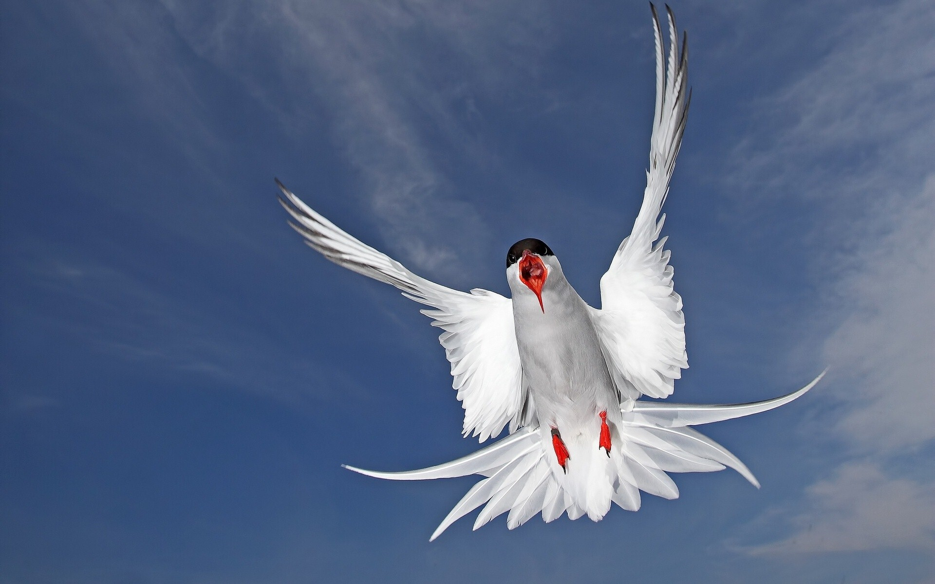 Arctic Tern Bird Wallpaper