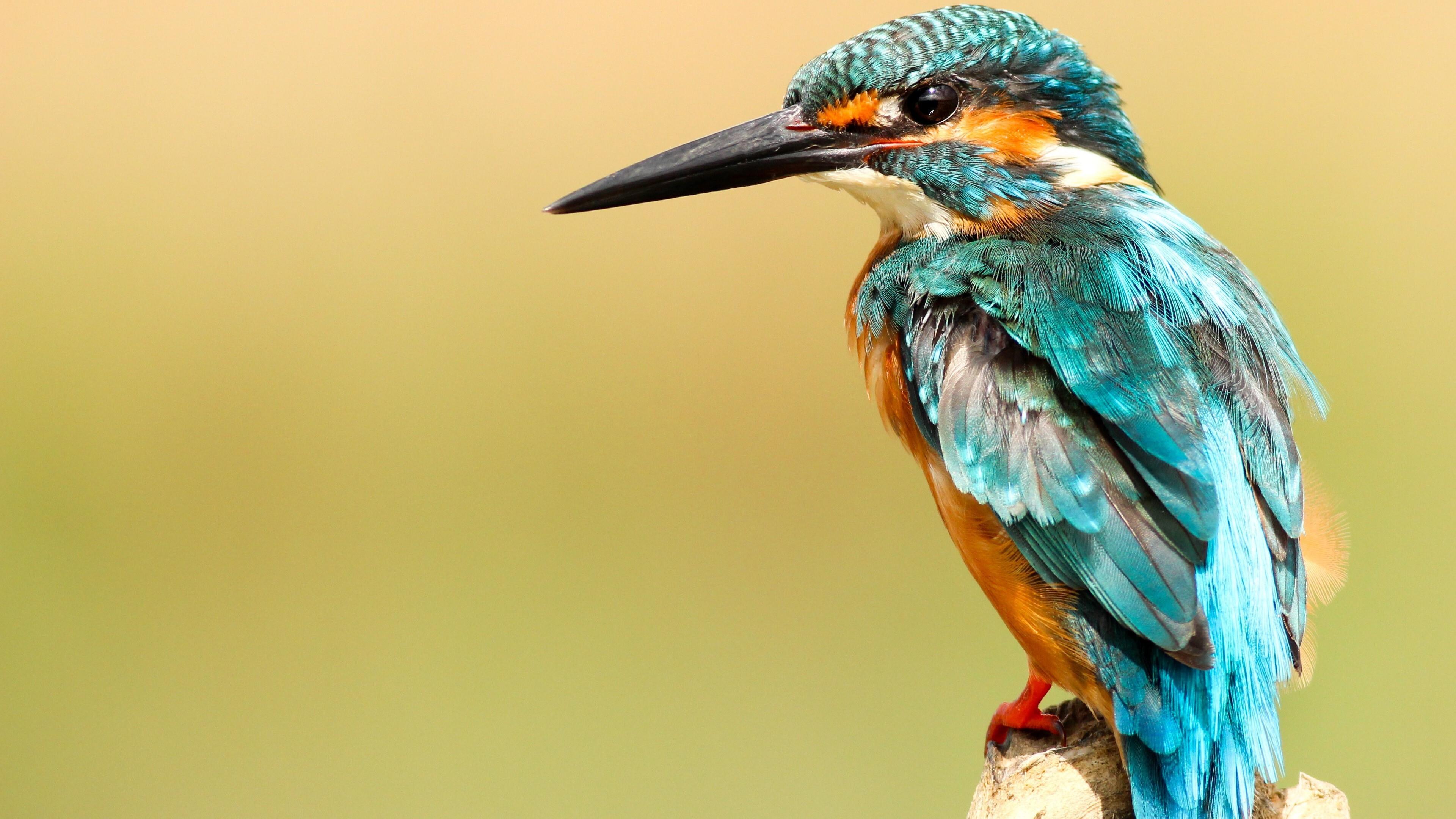 Beautiful Kingfisher Bird Wallpaper