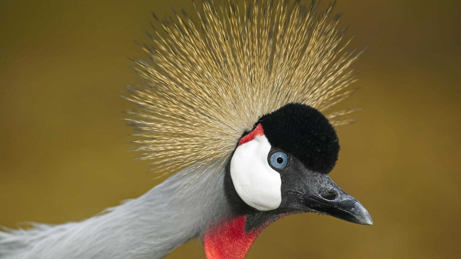 bird grey crowned crane face closeup hd wallpaper