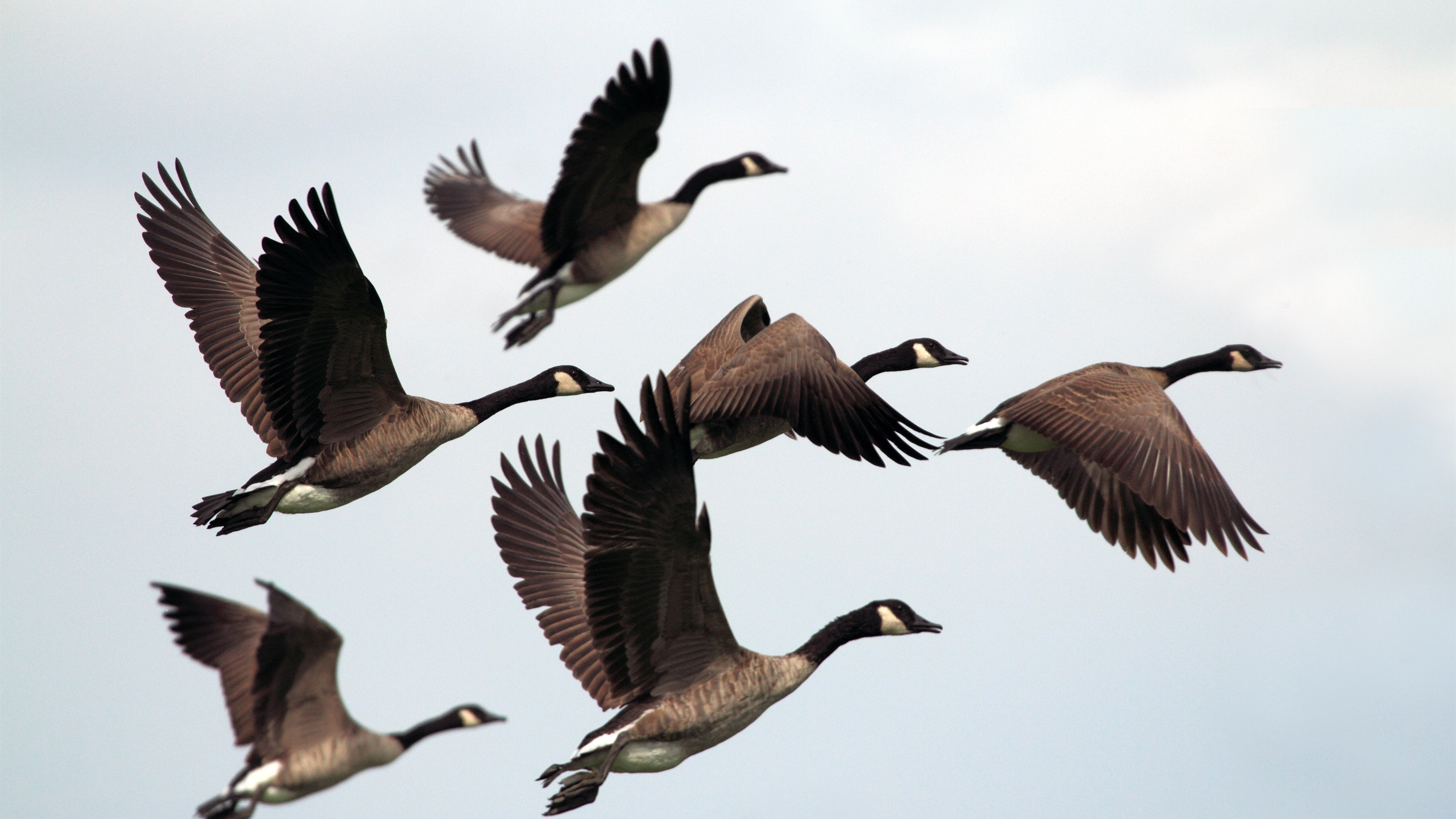Flocks Of Bird Flying 5k Photo Hd Wallpapers