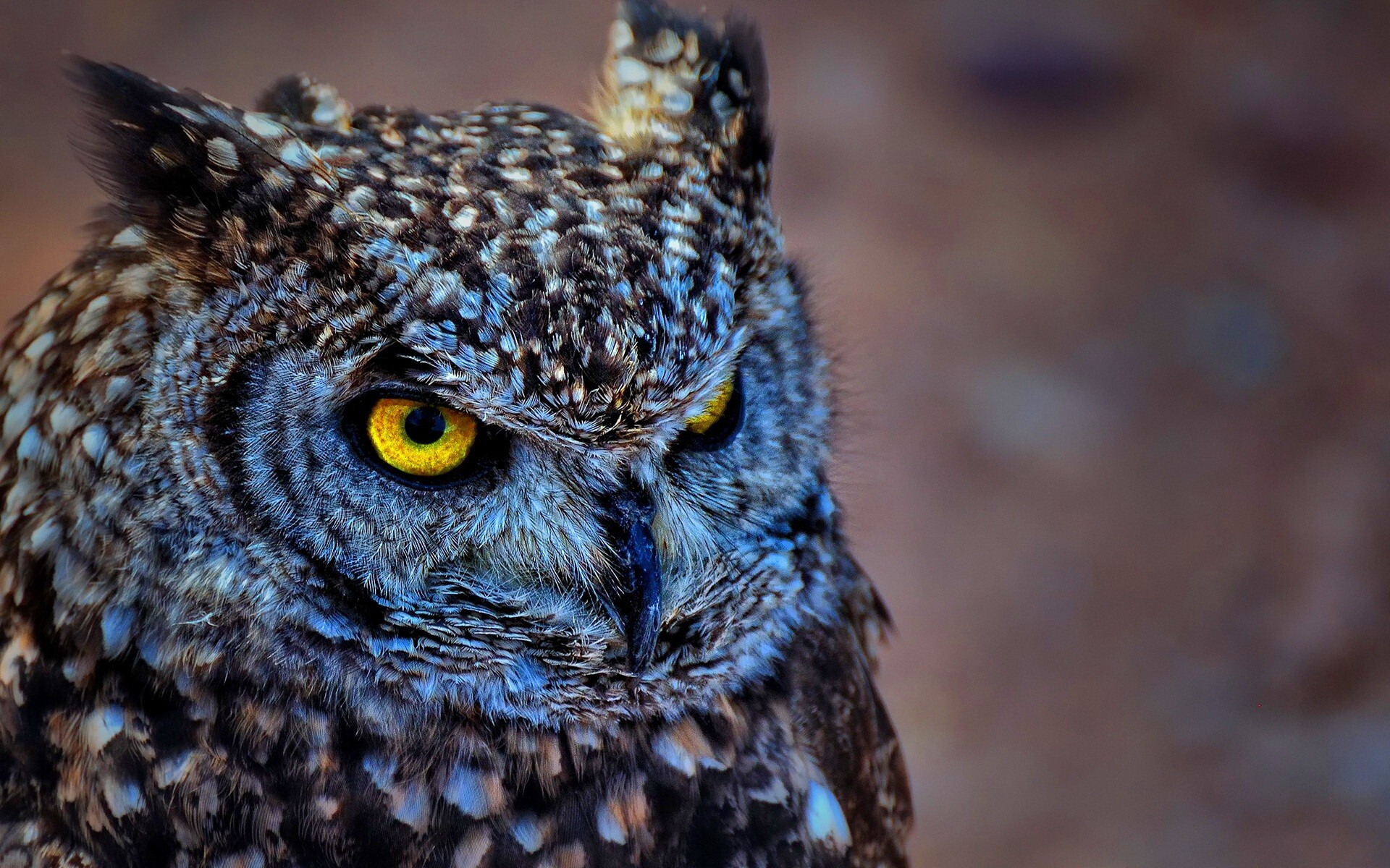 eastern screech owl bird with yellow eye wallpaper hd wallpapers