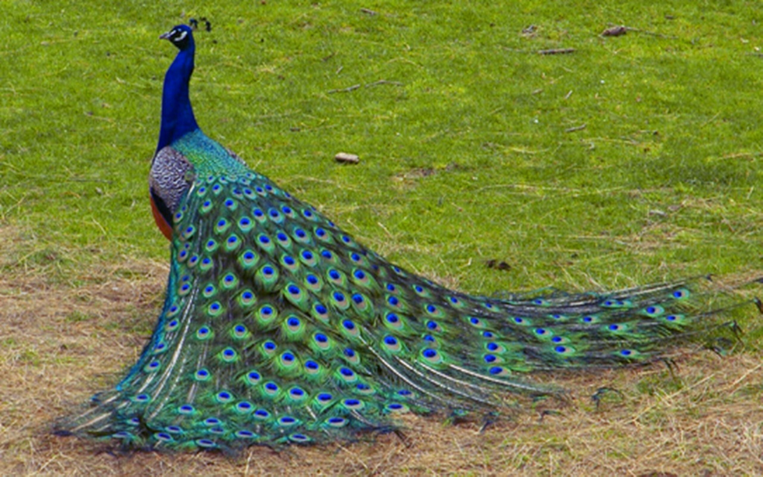 beautiful peacock bird hd desktop wallpaper background | hd wallpapers