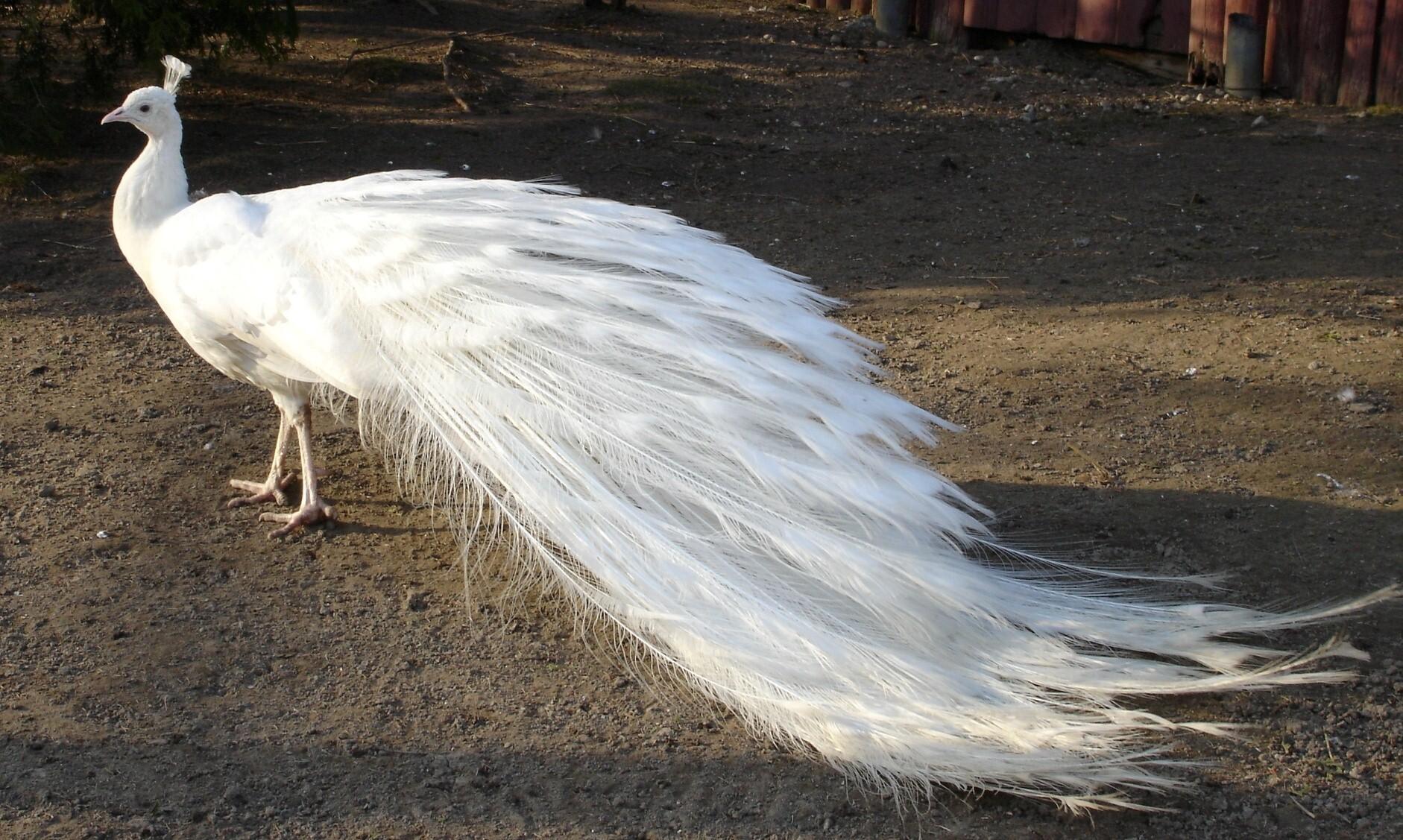 Beautiful_White_Peacock_Bird_Image.jpg