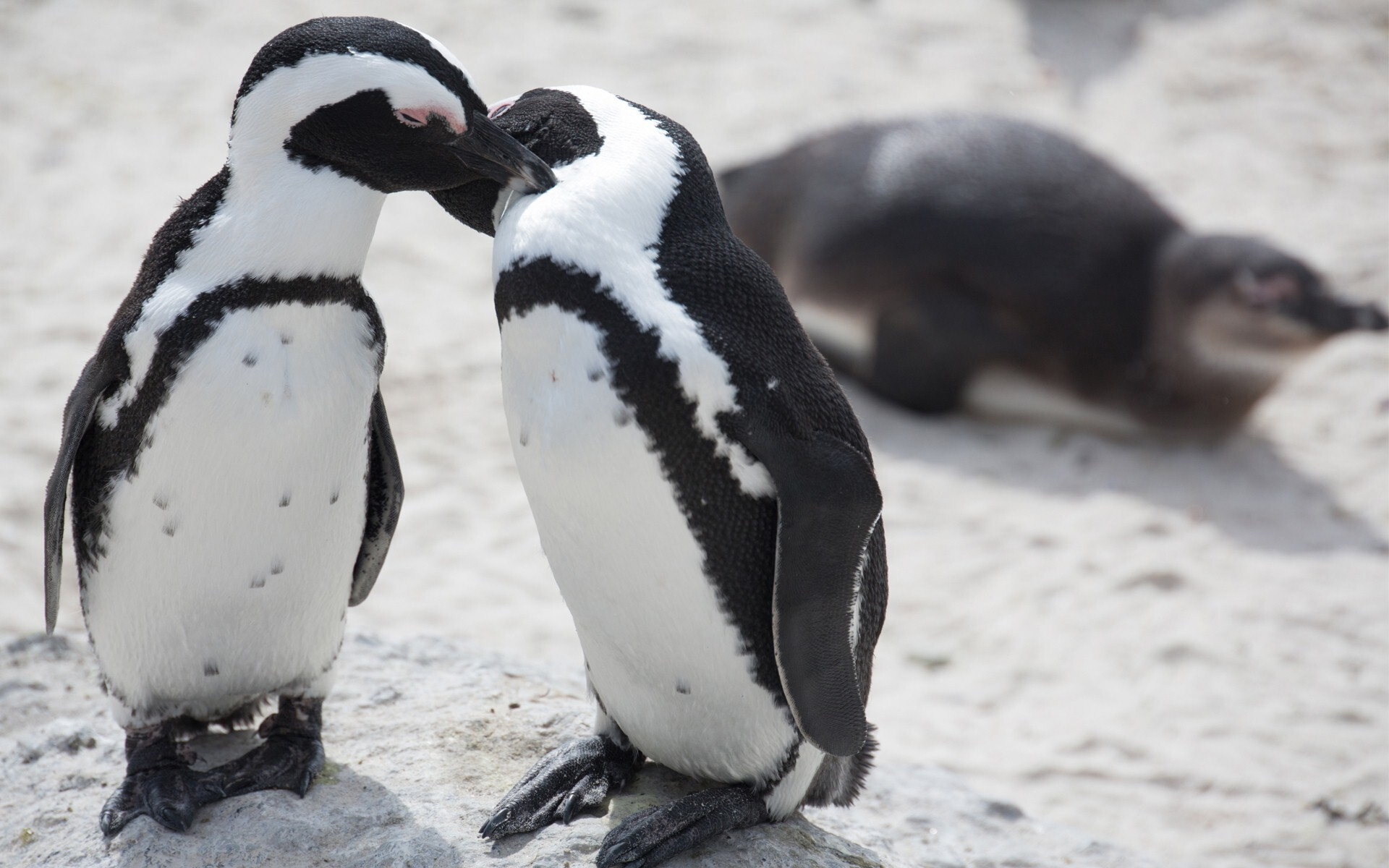 Penguin Baby Love Together   HD Wallpapers