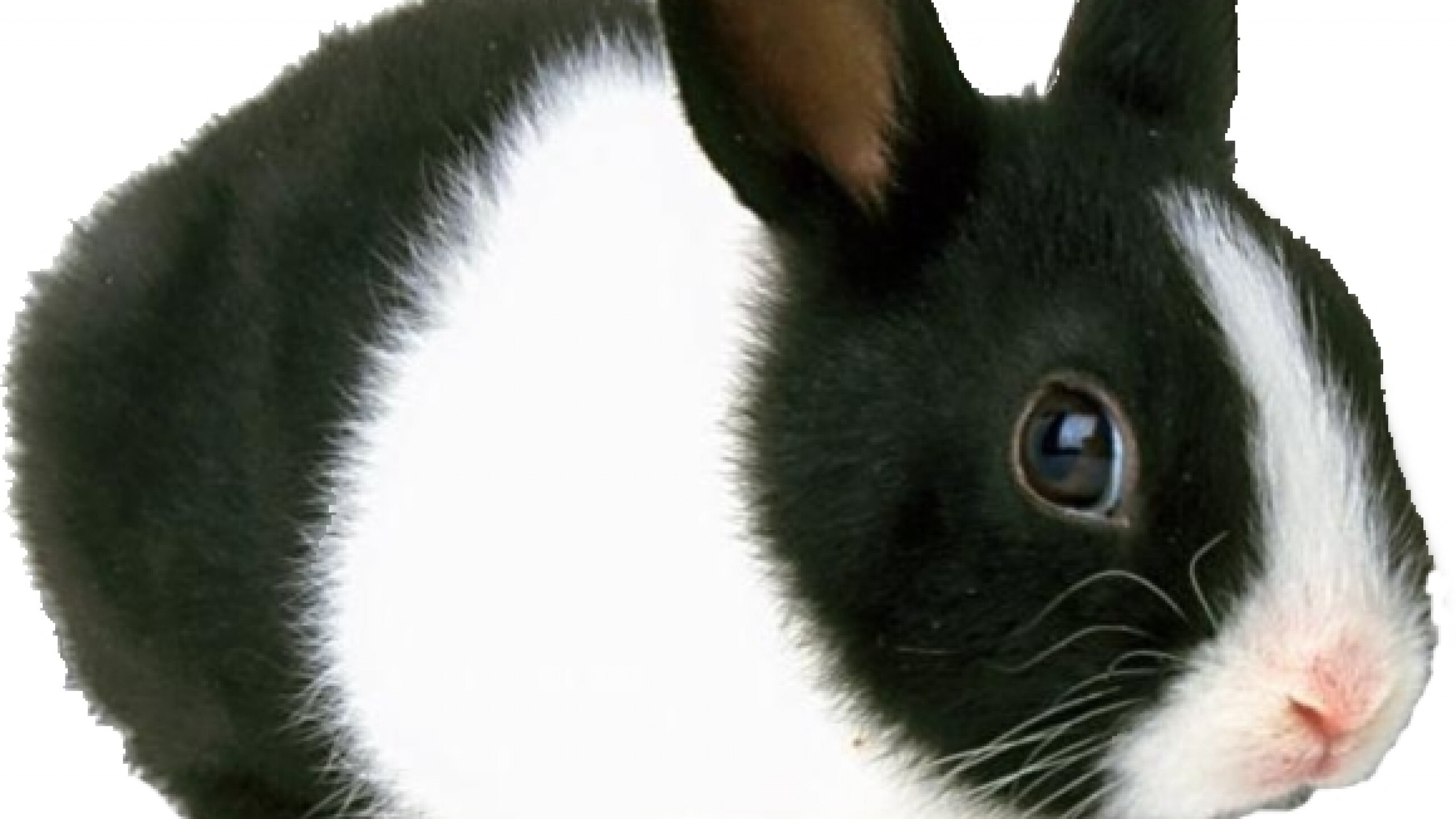 Black And White Rabbit Hd Wallpapers