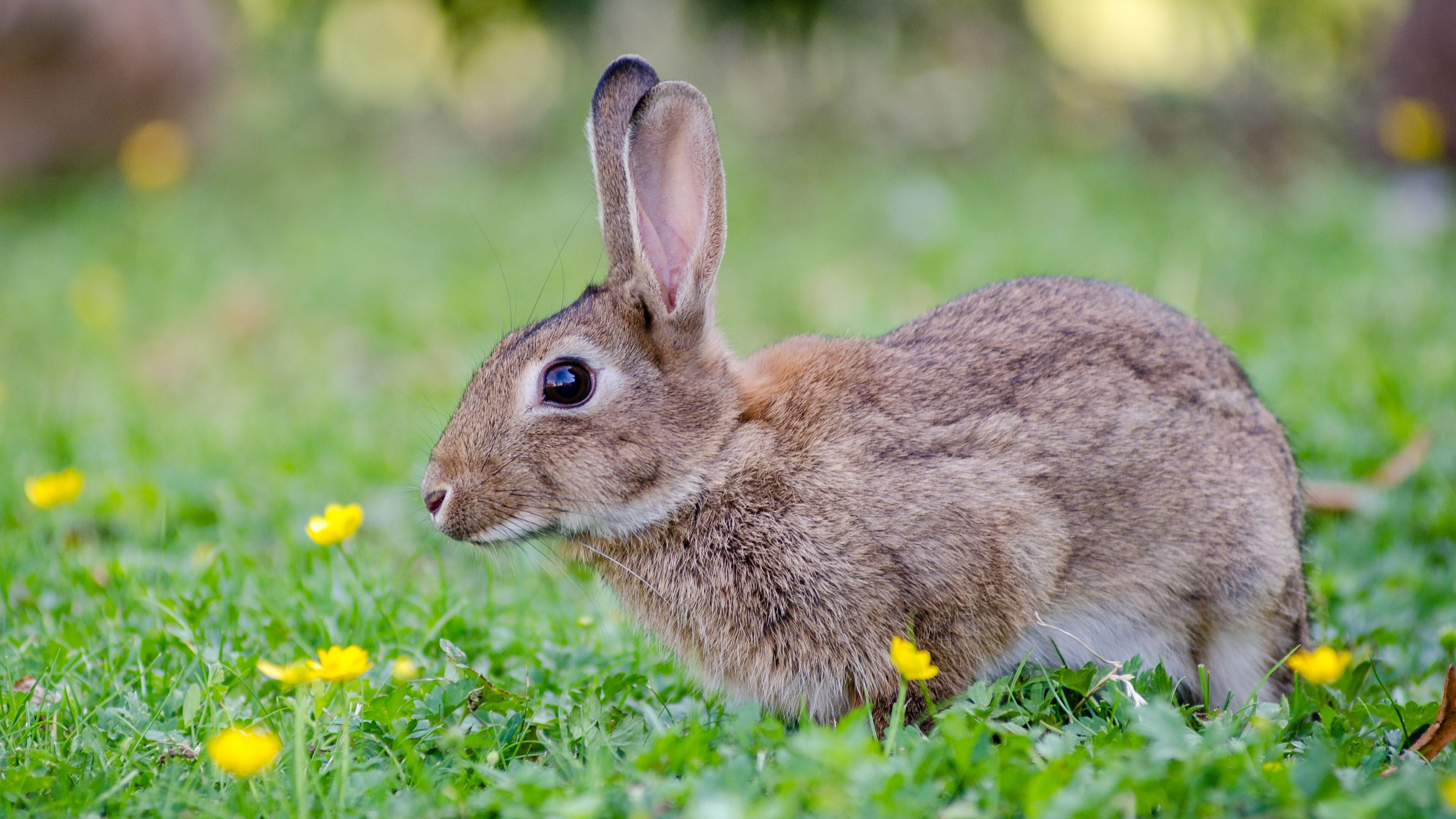 85 white rabbit wallpapers wallpaper cave rabbits images