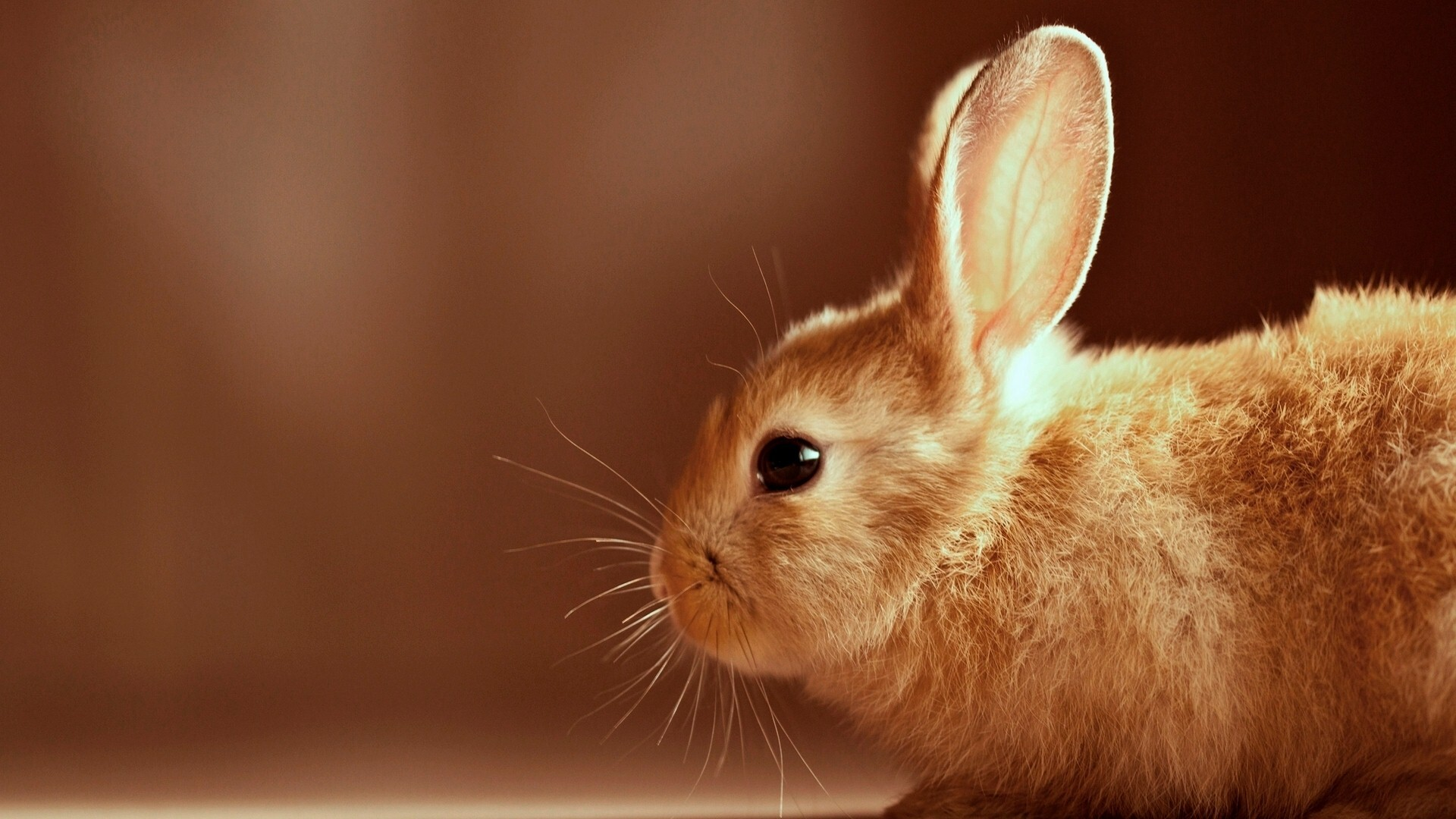 Hd image of rabbit animal hd wallpapers for Animal wallpaper for walls