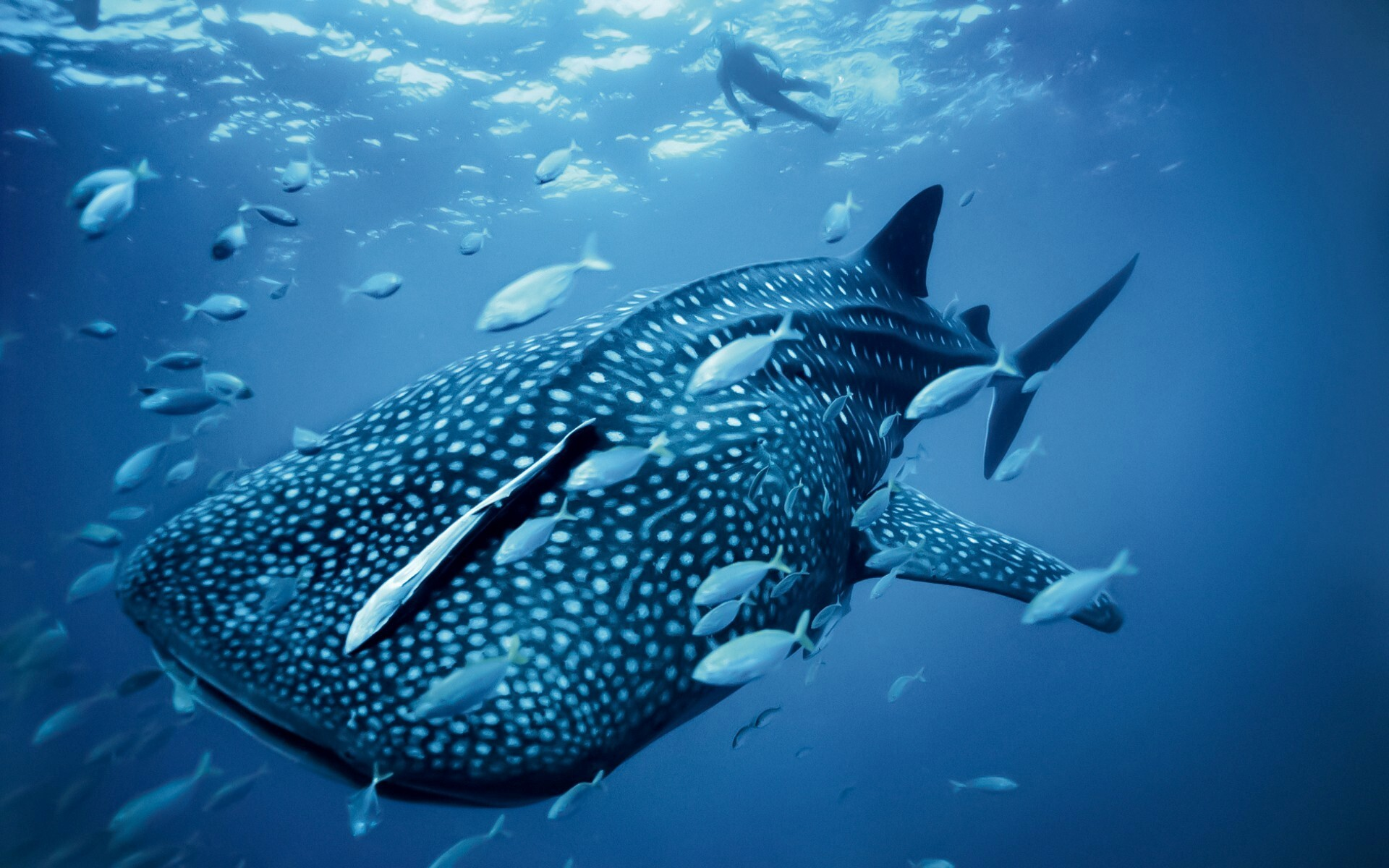 Image of: Desktop Hd Nice Wallpapers Whale Shark In Australian Blue Sea Animal Wallpaper Hd Wallpapers