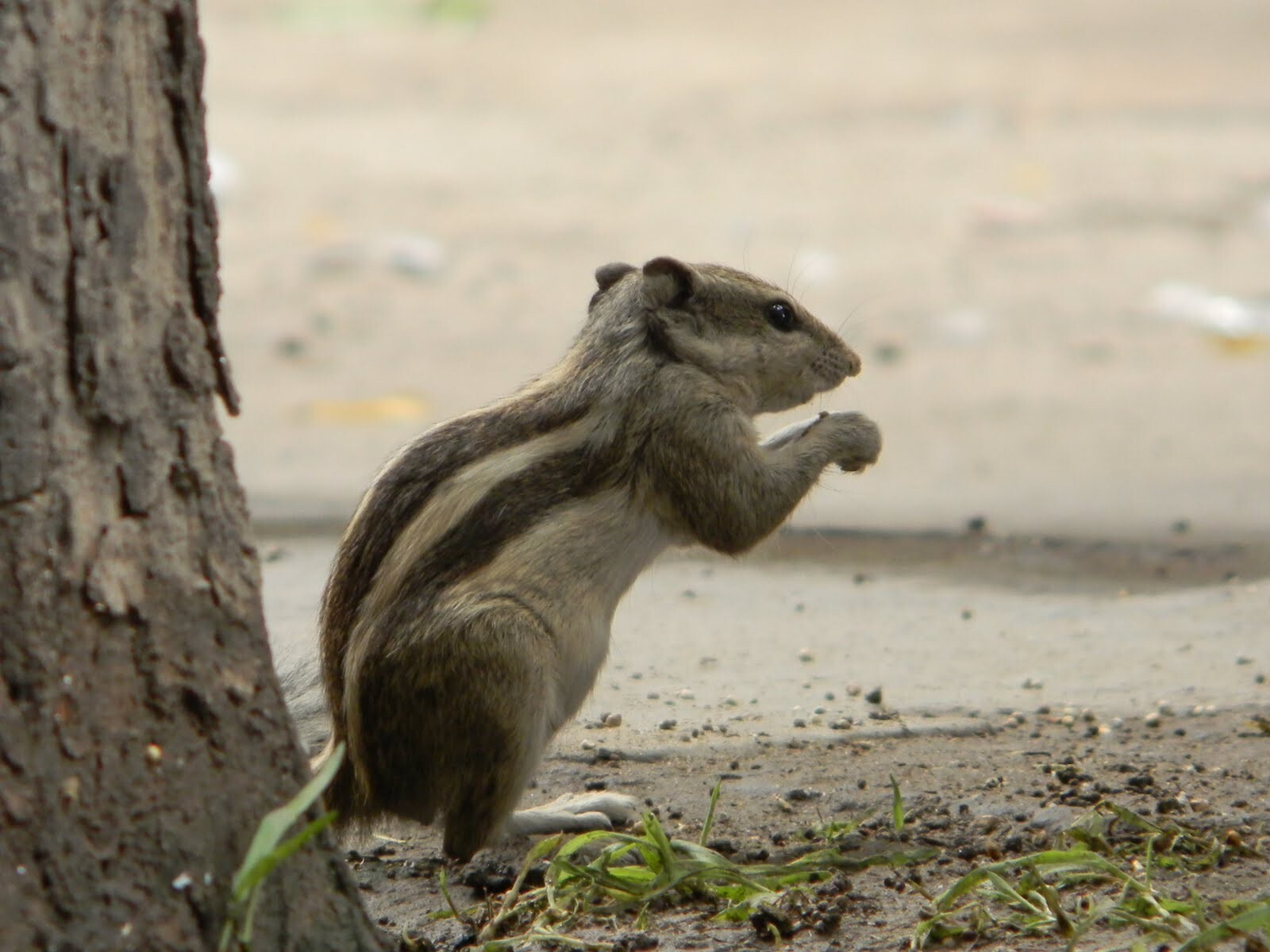 Indian Squirrel Eating Near the Tree | HD Wallpapers