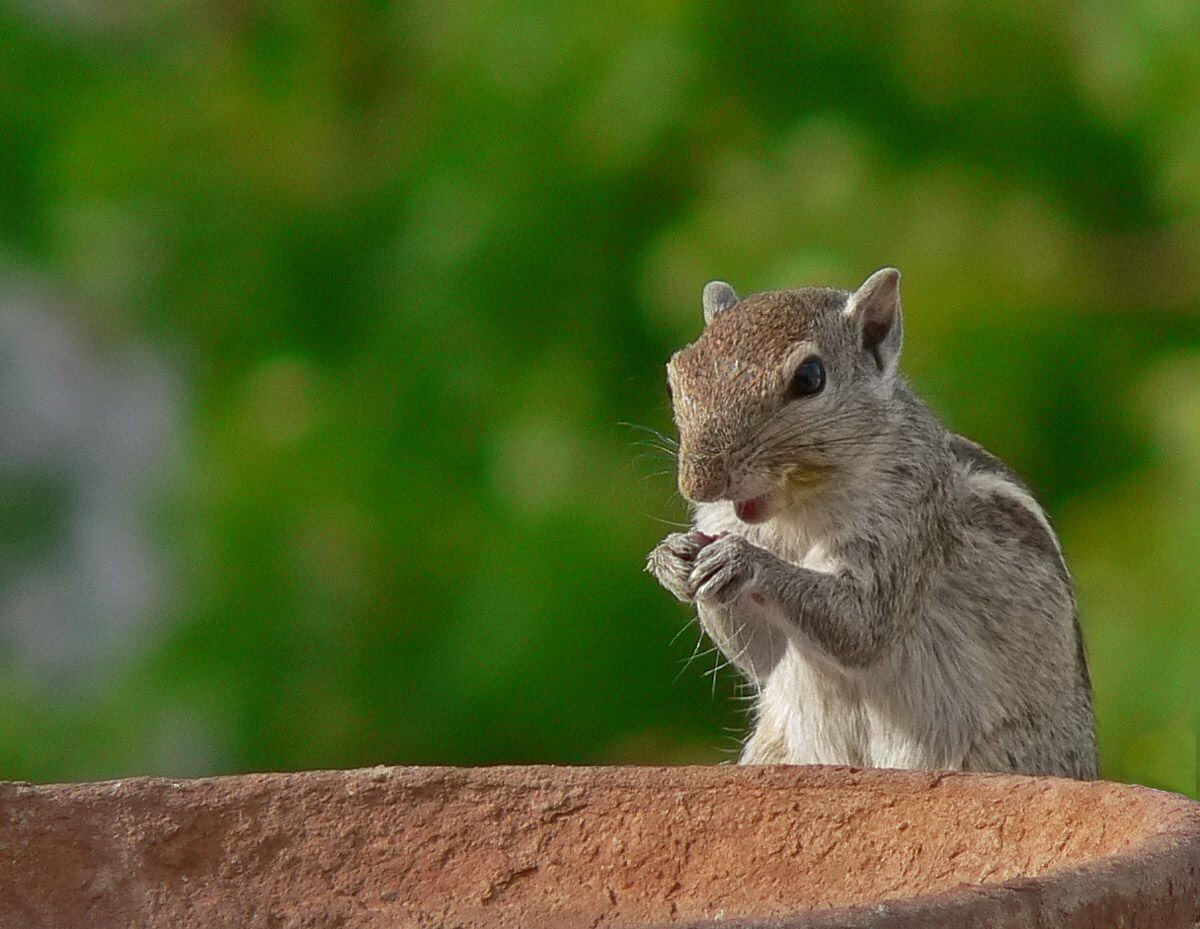 Indian_Squirrel 4K HD Desktop Wallpaper for 4K Ultra HD TV ... |Indian Squirrel Wallpaper