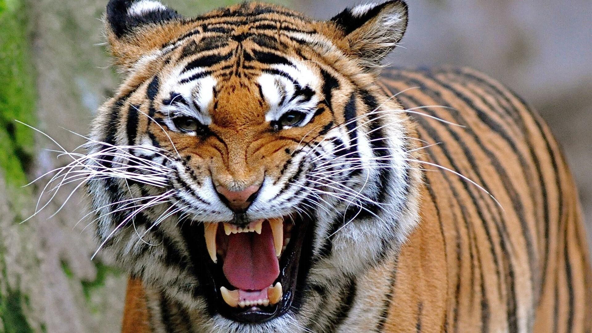 Angry Animal Tiger Hd Wallpapers
