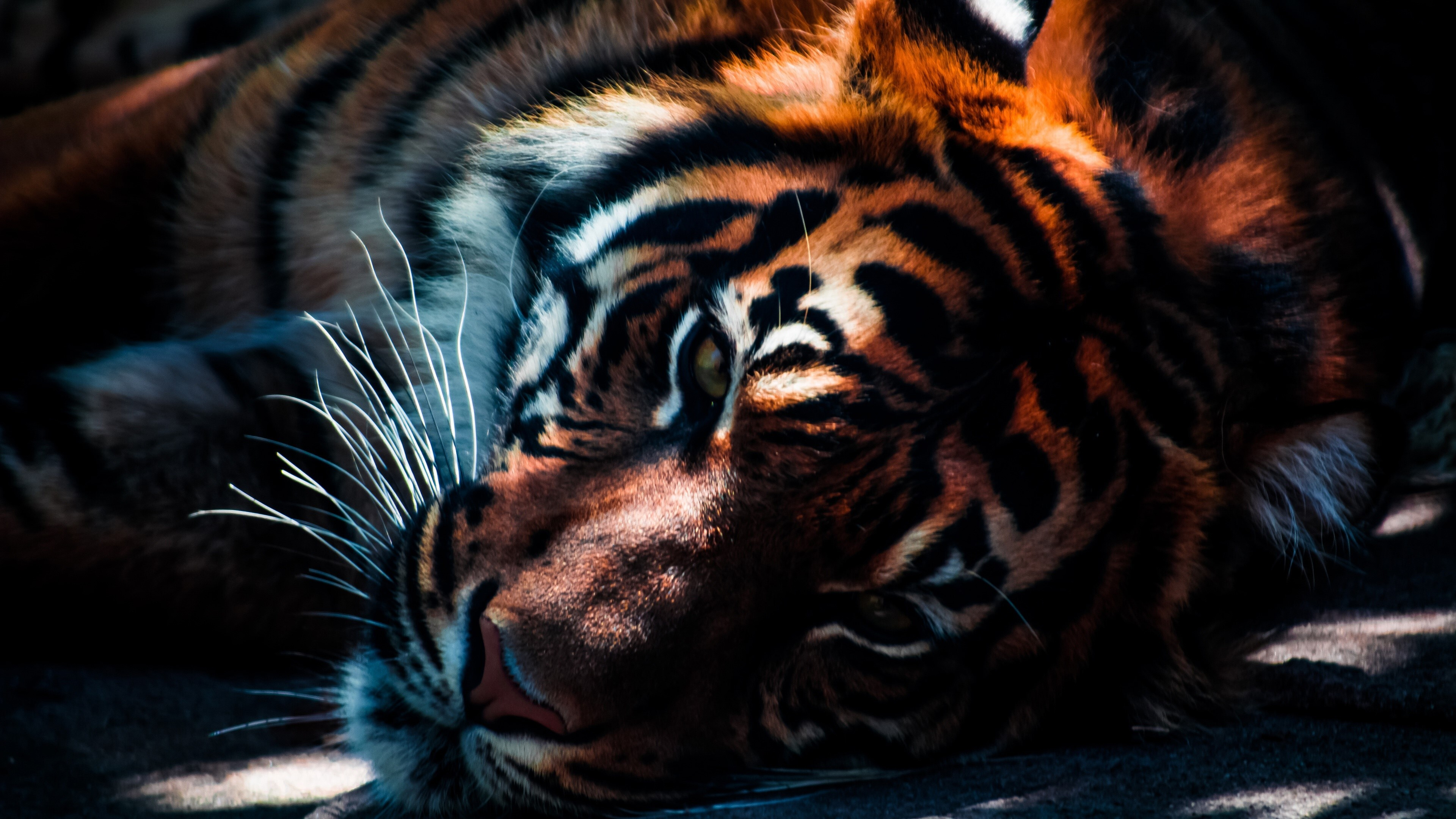 Animal Tiger 3d Wallpaper Background Hd Wallpapers