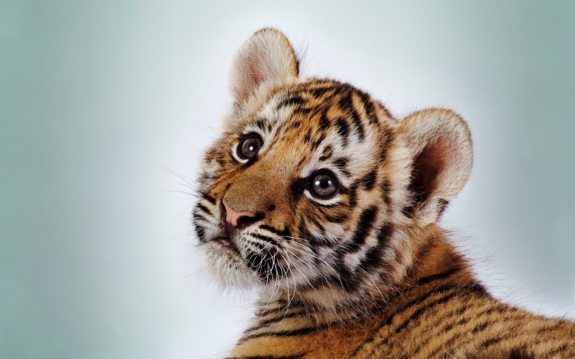 beautiful cute small baby tiger cub hd wallpapers | hd wallpapers