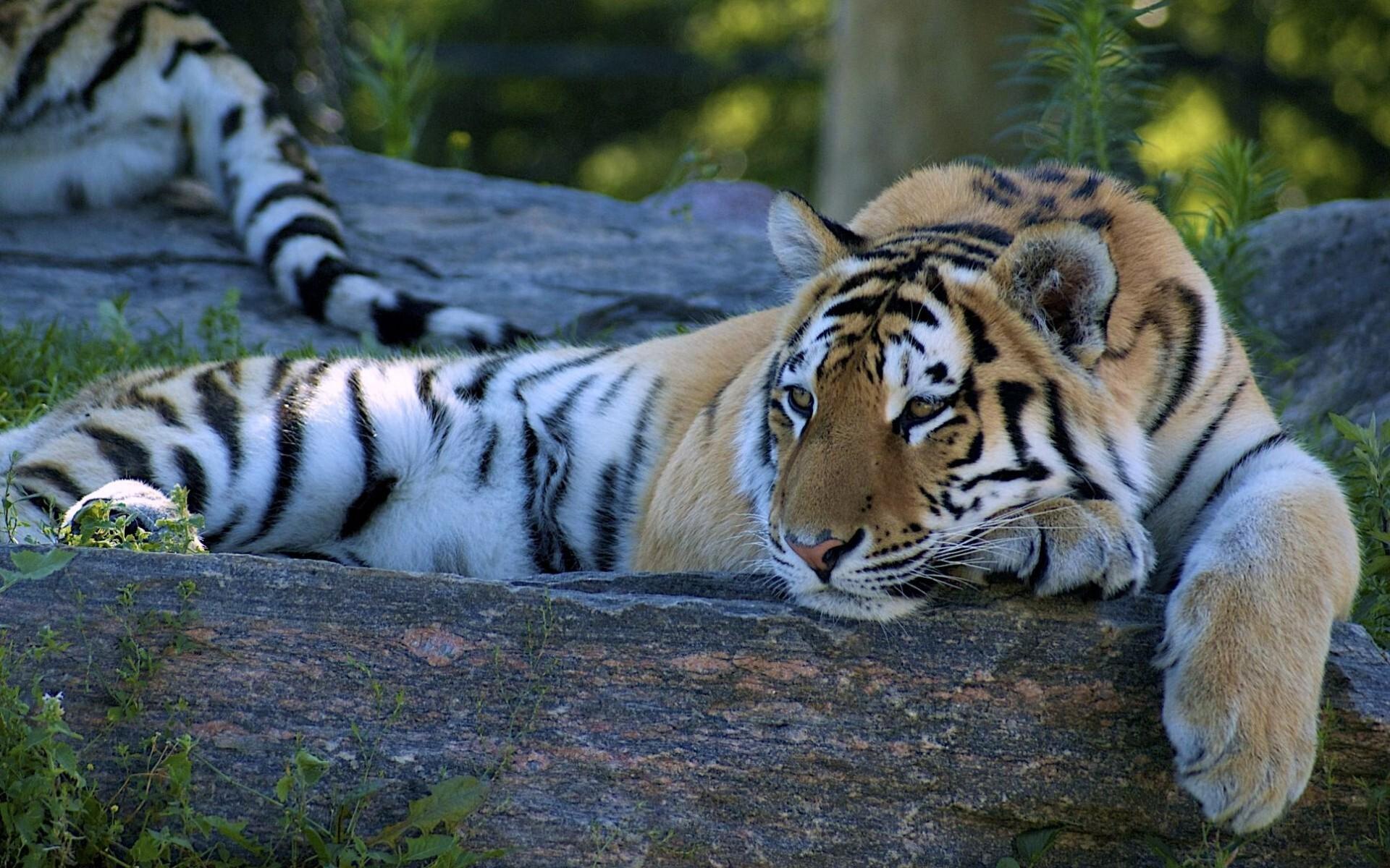 Best Tiger HD Desktop Background