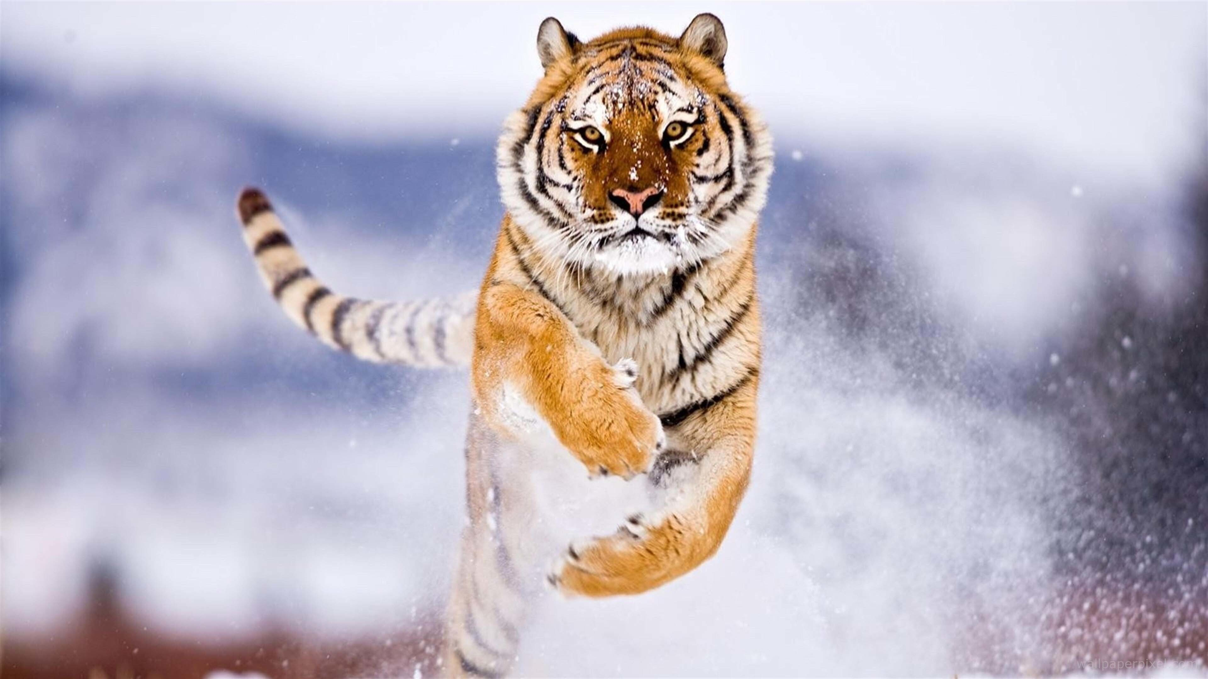 tiger running in snow | hd wallpapers