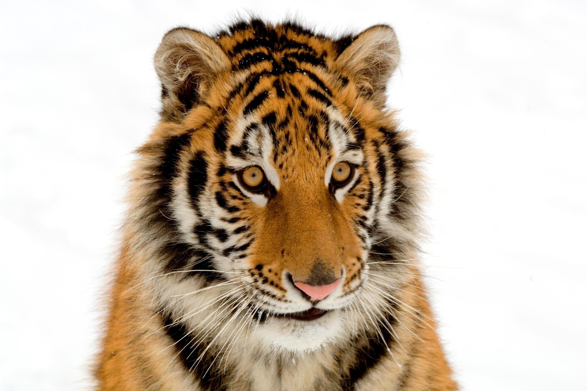 Wild Animal Tiger Image   HD Wallpapers