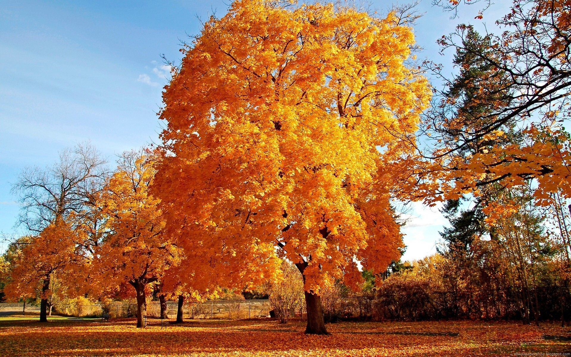 Bautiful Big Tree With Yellow Leaves Hd Wallpapers