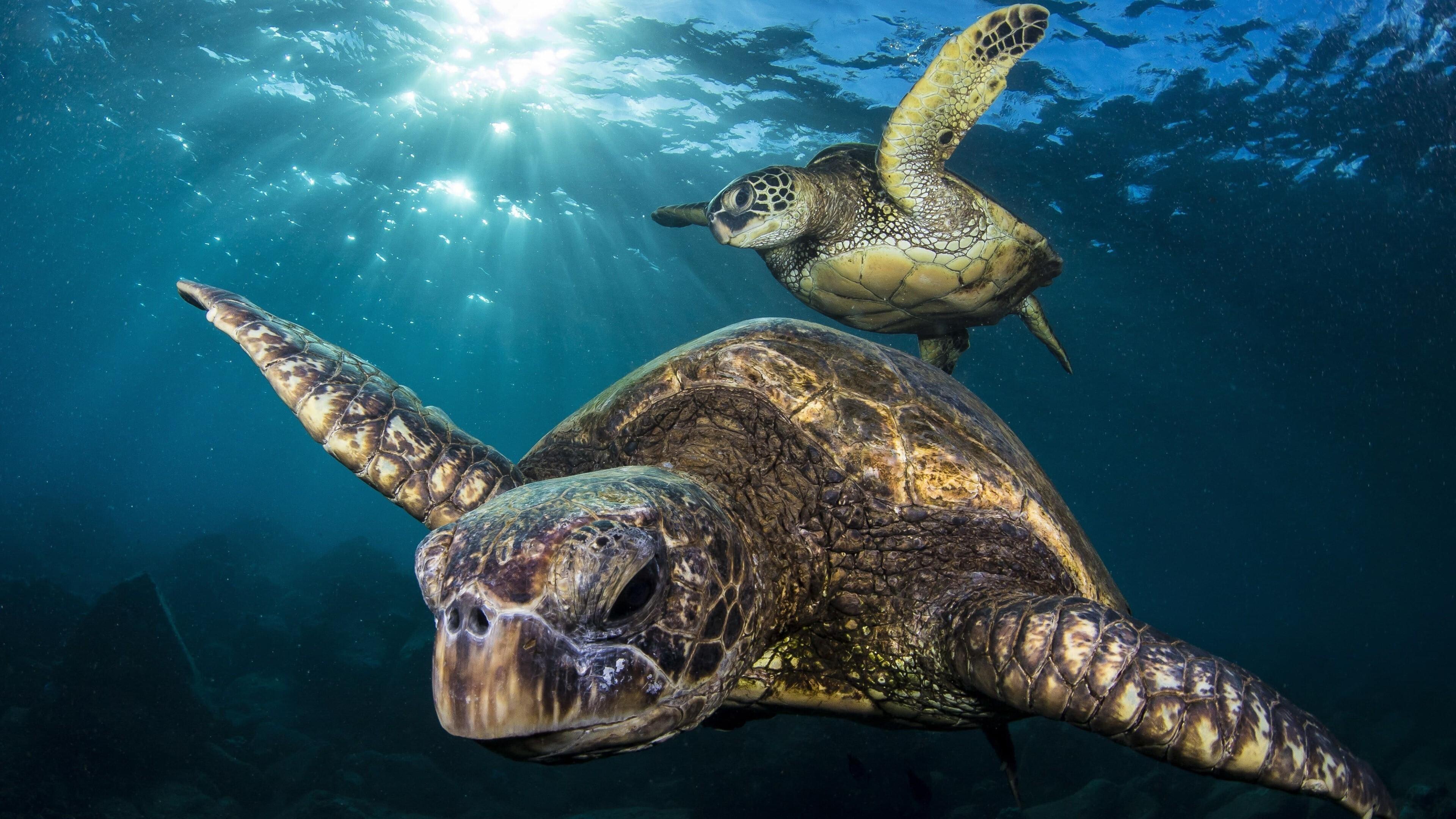 2 Turtle in Sea | HD Wallpapers