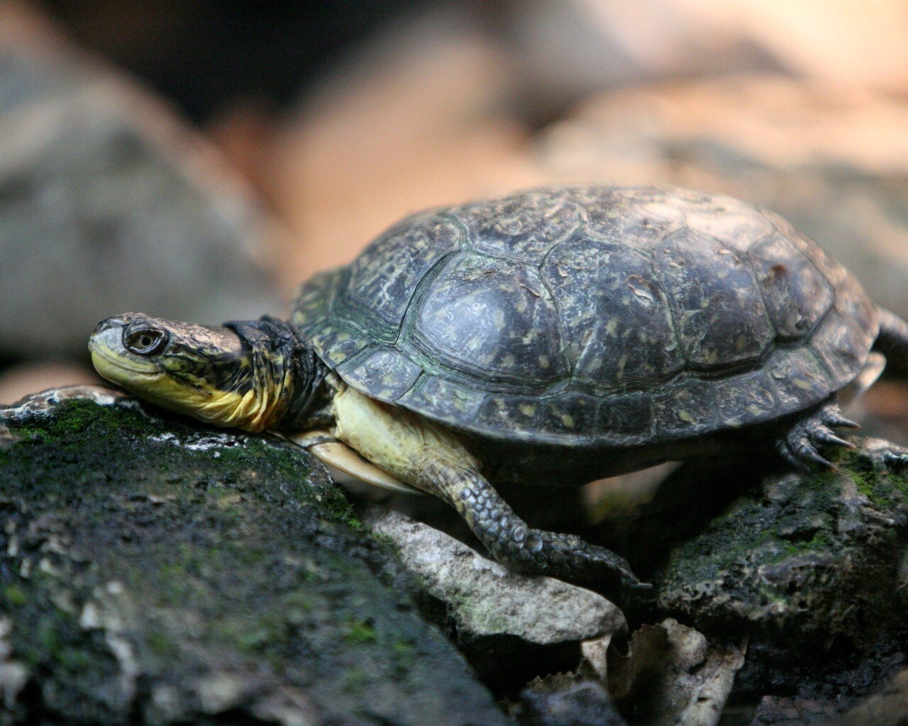 Baby turtle wallpapers pictures photos images pictures to pin on