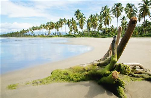 Beautiful Beach and Row of Coconut Trees