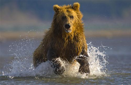 Animal Bear in River HD Wallpaper