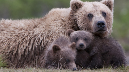Animal Bear with 2 Beautiful Cub