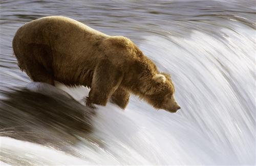 Bear Looking for Fish