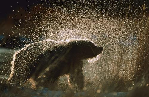 Bear with water drops