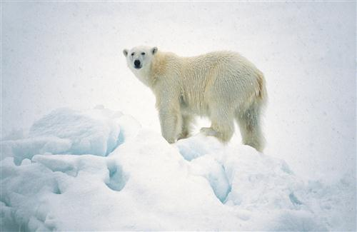 Big White Bear in Snowy Weather HD Animal Wallpapers