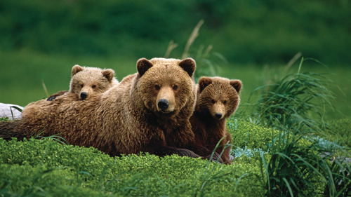 Brown Bear with Two Cute Cub