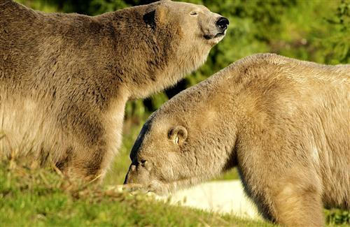 Two Big Bear Animal Wallpaper
