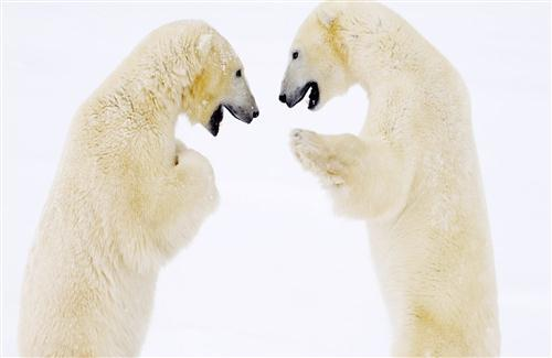 Two Big White Bear Love Together in Funny Way HD Animal Wallpaper
