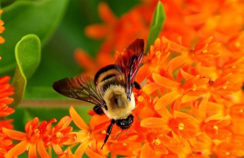Bee on Orange Flowers
