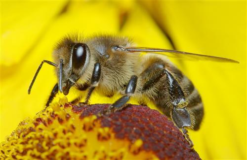 HD Animal Bee Pics