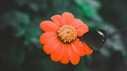 Black Butterfly Baby on Orange Flower