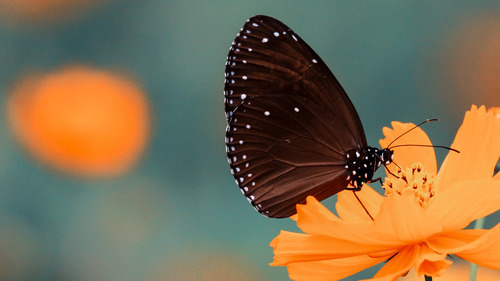 Black Butterfly on Orange Flower