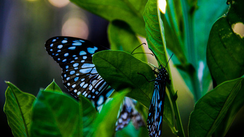 Black and Blue Butterfly on Green Leave 5K Wallpaper