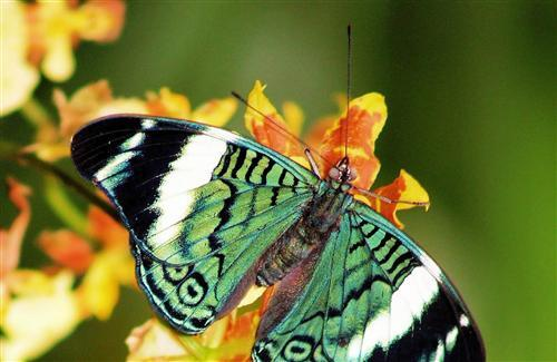 Green Butterfly on Yellow Flower