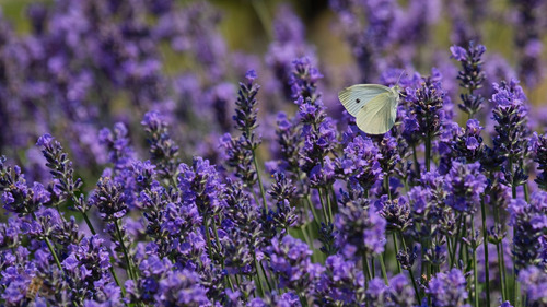 Photo of Cute Butterfly Baby on Lavender Flower