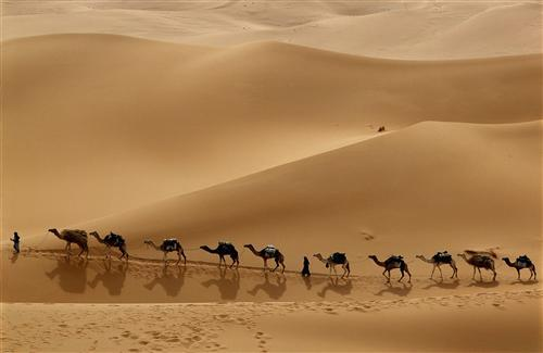 A Cute Row of Camels in Wilderness
